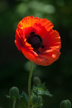 showy: poppy. a herbaceous plant with showy flowers, milky sap, and rounded seed capsules. drugs such as morphine and codeine