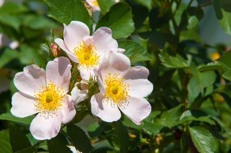 dog-rose, briar, brier, canker-rose, eglantine. rose flowers. rose flowers photographed in the mountains