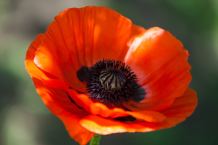 poppy. a herbaceous plant with showy flowers, milky sap, and rounded seed capsules. drugs such as morphine and codeine photo