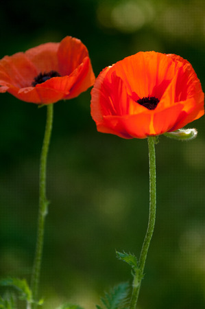 morphine: poppy. a herbaceous plant with showy flowers, milky sap, and rounded seed capsules. drugs such as morphine and codeine