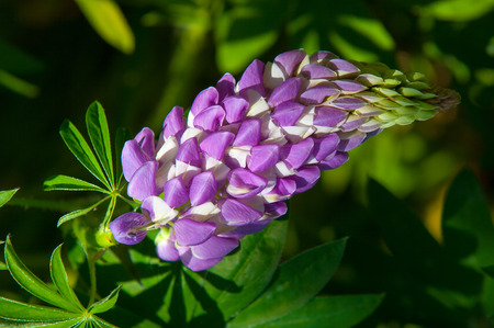 tapering: lupine, lupin. a plant of the pea family, with deeply divided leaves and tall, colorful, tapering spikes of flowers.