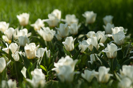 bulbous: tulips. a bulbous spring-flowering plant of the lily family, with boldly colored cup-shaped flowers.