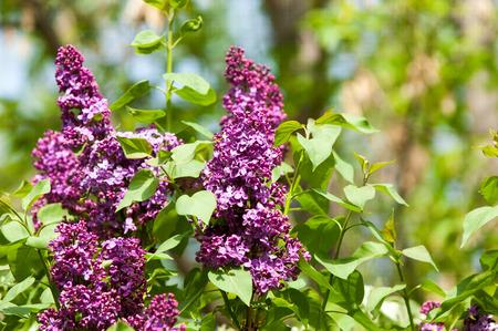 Lilac flowers large garden shrub with purple or white fragrant lilac flowers large garden shrub with purple or white fragrant flowers stock photo mightylinksfo