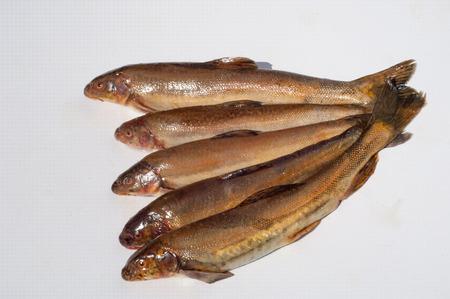 Diptychus maculatus. Fish caught in a mountain stream