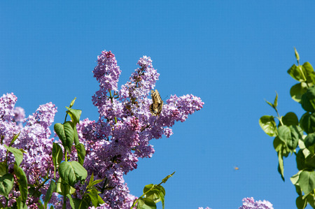 machaon: Lilac flowers. Swallowtail butterfly (machaon)  The photo was taken in the park Stock Photo