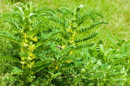Astragalus. milkvetch. goat's-doorn. wijnstok-achtige. astragalus sieversianus. Kazachstan. Tien Shan. Trans-Ili Alatau