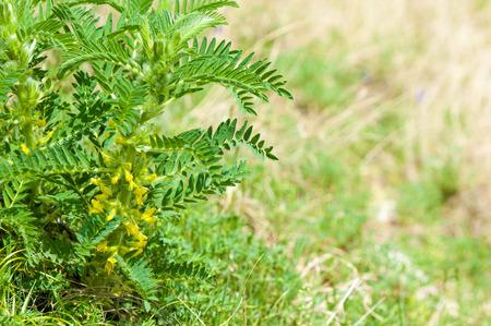 Astragalus. milkvetch. goats-thorn. vine-like. astragalus sieversianus. Kazakhstan. Tien Shan. Trans-Ili Alatau
