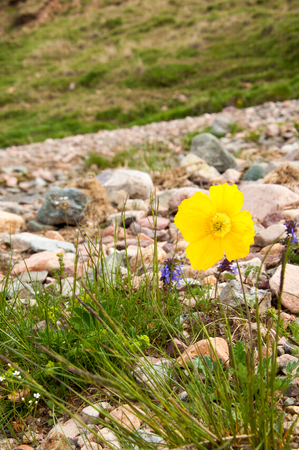 codeine: Yellow poppies. a herbaceous plant with showy flowers, milky sap, and rounded seed capsules. Many poppies contain alkaloids and are a source of drugs such as morphine and codeine.