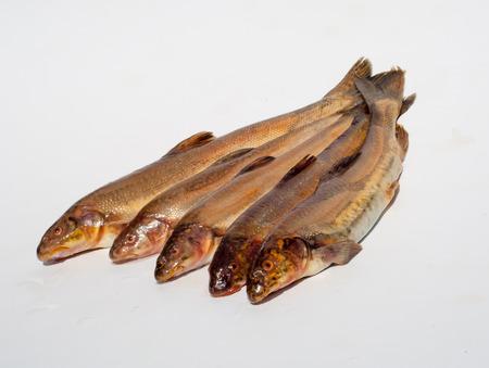 maculatus: Diptychus maculatus. Fish caught in a mountain stream
