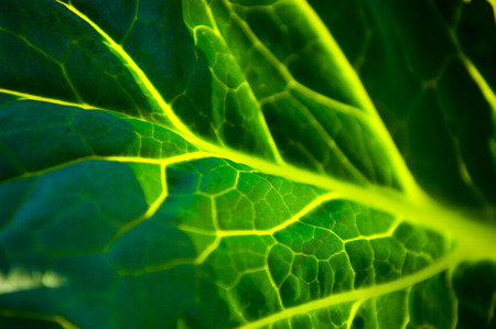 photography studio: Texture cabbage leaf. Photography Studio Stock Photo