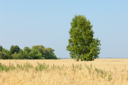 onely tree. Grain field. Tatarstan Russia photo