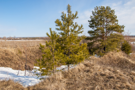 Spring in the field. last snow. pine tree. springtime, springtide, prime photo