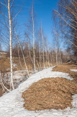 Birch forest in early spring. Early spring forest. the first warm days photo