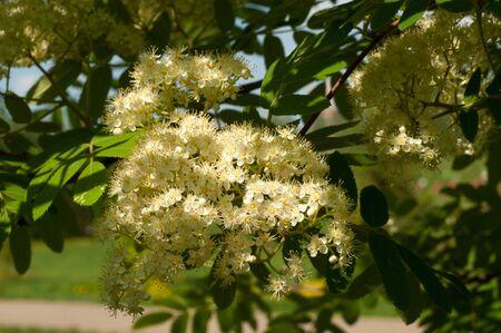 sorbus: Flowers rowan. lowering rowan in spring time. White flowers of the rowan tree. Stock Photo