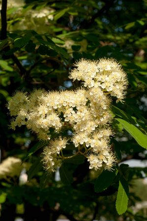 rowan tree: Flowers rowan. lowering rowan in spring time. White flowers of the rowan tree. Stock Photo