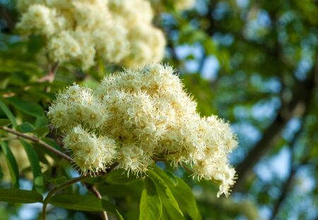lowering: Flowers rowan. lowering rowan in spring time. White flowers of the rowan tree. Stock Photo