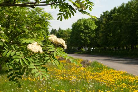 lowering: Flowers rowan. lowering rowan in spring time. White flowers of the rowan tree. Stock Photo
