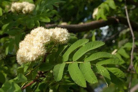 eberesche: Flowers Rowan. Senken Eberesche im Fr�hjahr. Wei�e Blumen der Eberesche.