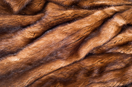 carnivore: Mink fur animal . a small, semiaquatic, stoatlike carnivore native to North America and Eurasia. The American mink is widely farmed for its fur,