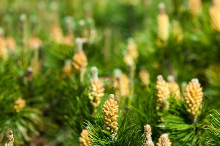 spring bud: Young shoots of pine. Young shoots on the branches of pine. Young shoots of pine trees in the forest spring. bud pollination pinecone, vertical shoot