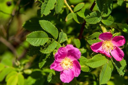 Dog-rosa radica radica Eglantine canker-rose Archivio Fotografico