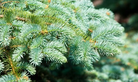 Blue spruce. a North American spruce with sharp, stiff blue-green needles, growing wild in the central Rocky Mountains. photo