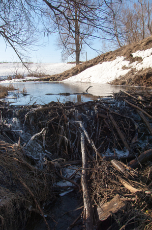 ice dam: Spring in the forest, the grass withered, the last snow, warm spring day, desktop wallpapers. This photo good design solution. The beavers built a dam