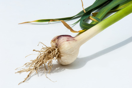 flavoring: garlic.Garlic is not ripened on the stem of the leaf. a strong-smelling pungent-tasting bulb, used as a flavoring in cooking and in herbal medicine. Stock Photo