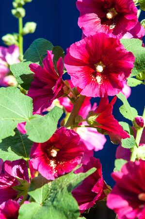 herbaceous  plant: Malva. Herbaceous plant with large bright flowers.