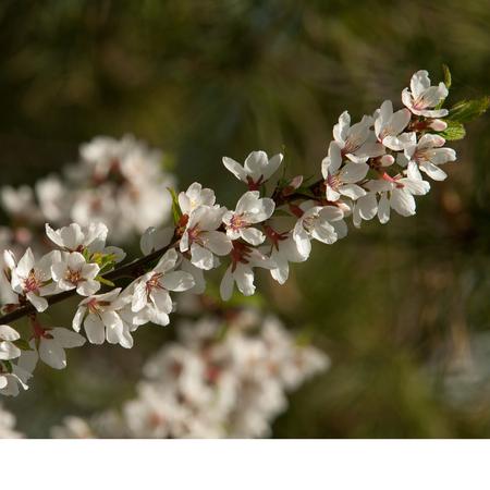 glandular: Flowers of nanking cherry prunus tomentosa in spring.  Stock Photo