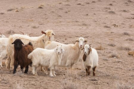 quicksand: a group of goat Stock Photo