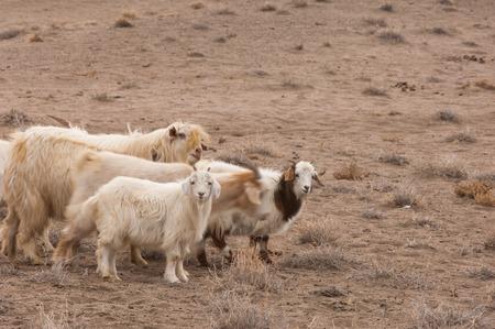 arenas movedizas: un grupo de cabra