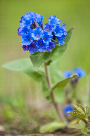 pulmonaria: Pulmonaria obscura, common names unspotted lungwort or Suffolk Lungwort