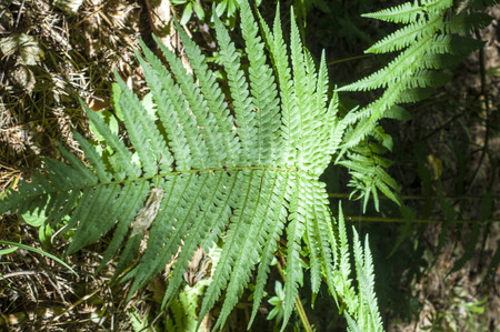 fern fiddlehead: fern. a flowerless plant that has feathery or leafy fronds and reproduces by spores released from the undersides of the fronds. Stock Photo
