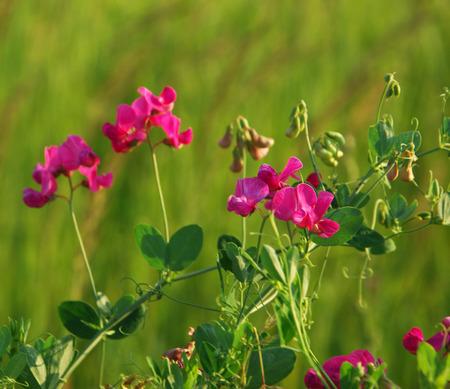 vetch: Vicia cracca. Summer flowers Vicia on sunny background. Cow vetch (Vicia cracca) closeup
