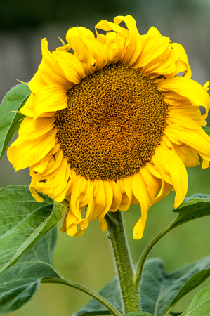 pappus: sunflower, helianthus. Endangered Species Act. They grow to six feet tall and are primarily found in woodlands Stock Photo