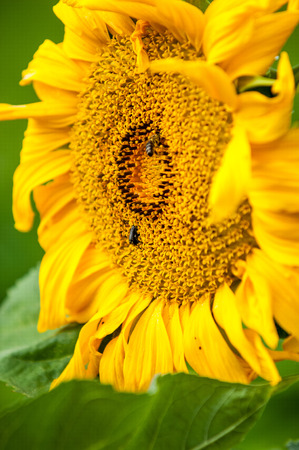 primarily: sunflower, helianthus. Endangered Species Act. They grow to six feet tall and are primarily found in woodlands Stock Photo