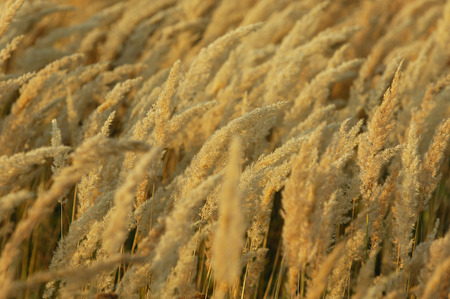 panicle: Texture yellow grass, panicle . a perennial plant. a loose, branching cluster of flowers,