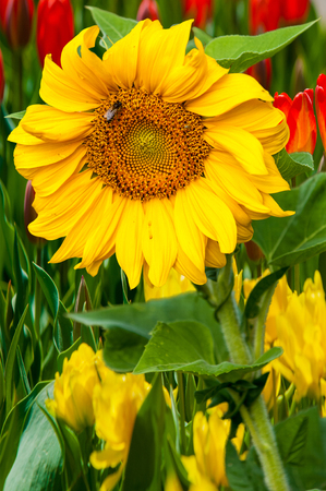 endangered species: sunflower, helianthus. Endangered Species Act. They grow to six feet tall and are primarily found in woodlands Stock Photo