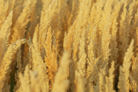 rushy: Texture yellow grass, panicle . a perennial plant. a loose, branching cluster of flowers,