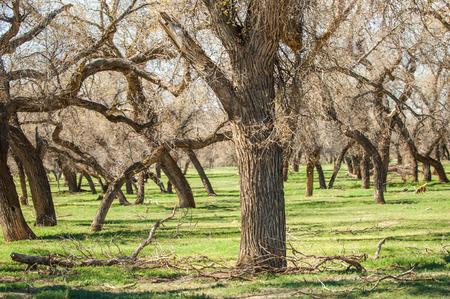 veld: steppe, prairie, veldt, veld.  Spring Central Asia. Kazakhstan. turanga poplar.  Euphrates Poplar Stock Photo