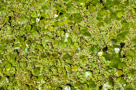 quantities: Texture, background, vegetation on the water. Duckweed in the summer.  a tiny aquatic flowering plant that floats in large quantities on still water, Stock Photo