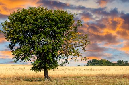 lone  tree: Crops matured. lone tree. golden-yellow harvest ripe cornfield