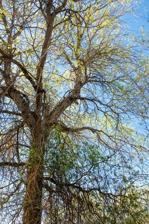 veldt: steppe, prairie, veldt, veld.  Spring Central Asia. Kazakhstan. turanga poplar.  Euphrates Poplar Stock Photo