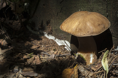 bolete: Boletus edulis. California king bolete.  The fruit body has a large brown cap which on occasion can reach 35 cm (14 in) in diameter and 3 kg (6.6 lb) Stock Photo