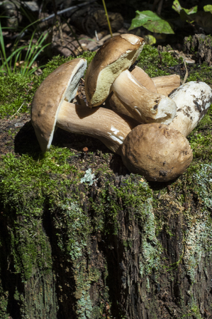 basidiomycete: Boletus edulis. California king bolete.  The fruit body has a large brown cap which on occasion can reach 35 cm (14 in) in diameter and 3 kg (6.6 lb) Stock Photo
