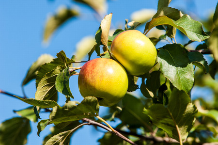 carpels: Crabapple and Wild apple. Malus  is a genus of about 30–55 species of small deciduous apple trees or shrubs in the family Rosaceae