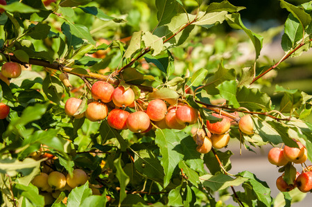 pomme: Crabapple and Wild apple. Malus  is a genus of about 30–55 species of small deciduous apple trees or shrubs in the family Rosaceae