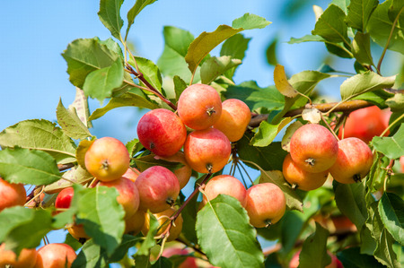 rosaceae: Crabapple and Wild apple. Malus  is a genus of about 30–55 species of small deciduous apple trees or shrubs in the family Rosaceae