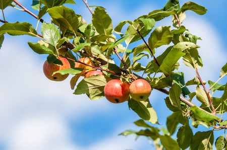 twiggy: Crabapple and Wild apple. Malus  is a genus of about 30–55 species of small deciduous apple trees or shrubs in the family Rosaceae